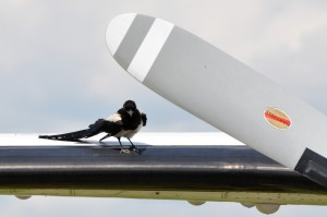 A magpie sits on the wing of a twin engine turboprop